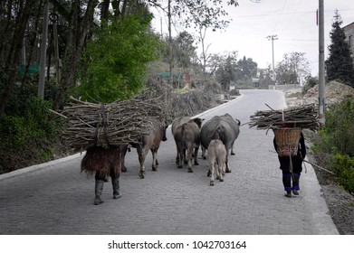 Two elderly people carry the branches on their backs with cows, buffalo and ham walking on the street (Yuanyang,Yunnan, China)
