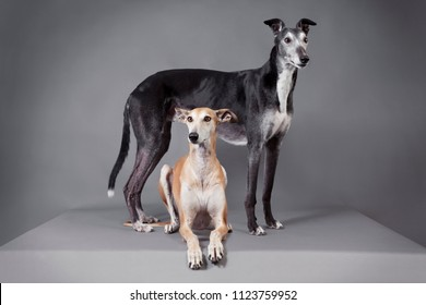 two elegant greyhounds in the studio in front of dark background