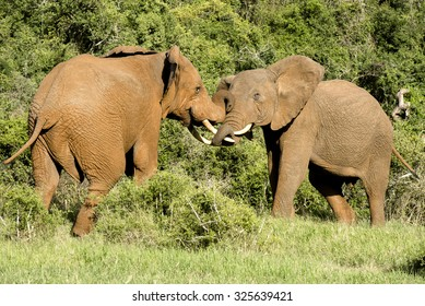 Two elephant bull fighting and loving