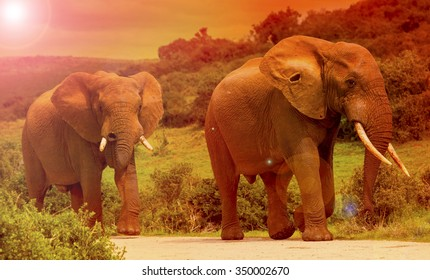 Two elephant bulls walking under a hot African sunset.
