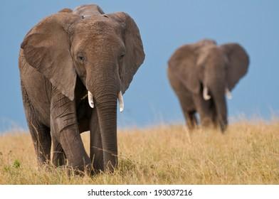 Two Elephant on grassy plains in Masai Mara, Kenya