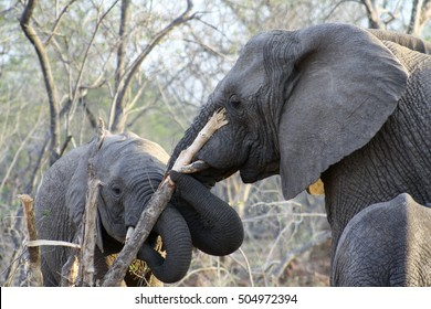 two elephants eating a tree together in the savanna - south africa