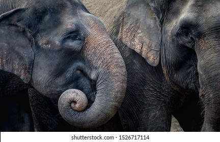Two elephants are enjoying their day together. In Indonesia, elephants are found on the island of Sumatra. Elephants in Indonesia are included in the type of Asian elephant
