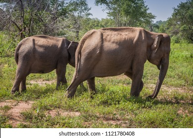 Two elephants - a family of Sri Lankan elephants including a rare tusker in national park