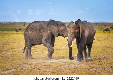 Two elephants are fighting. Africa. Kenya. Journey through Africa. African elephants in the fight. Animals in Kenya. Safari in the national park.