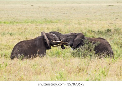 Two elephants fighting with interlocked tusks