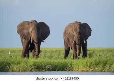 Two Elephants grazing on the marshland of Chobe in Botswana