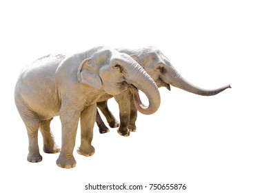 Two elephants isolated on white