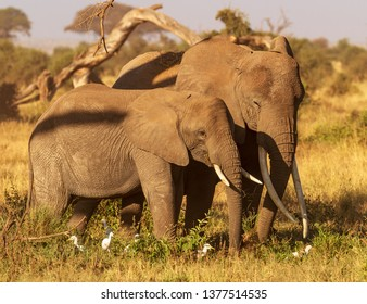 Two elephants, Loxodonta africana, long tusks close together in Amboseli National Park Kenya East Africa. Dry grass and cattle egrets white birds. Warm sunny day on safari