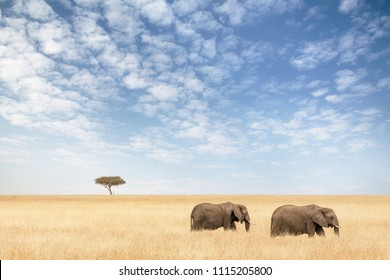 Two elephants in the red-oat grass of the Masai Mara. A lone acacia tree sits on the horizon.