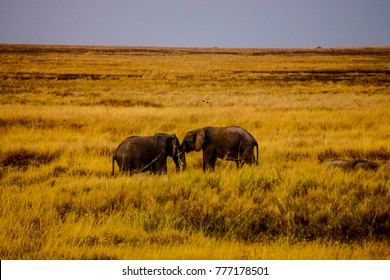 two elephants standing next to each other in the yellow grassland of the african safari national park serengeti in tanzania - surrounded by nothing else, with a grey colored horizon