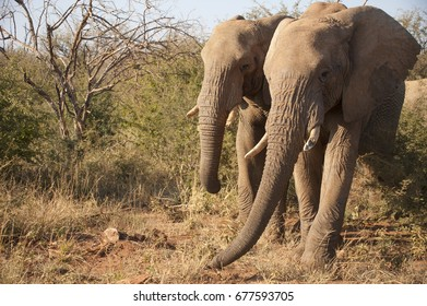 Two elephants walking in the bushes in South Africa
