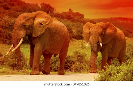 Two elephants walking on the road in a safari park in South Africa at sunset.