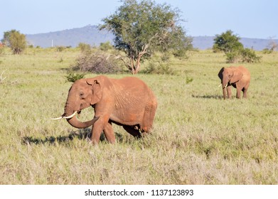 Two elephants walking one behind the other in the savanna of East Tsavo Park in Kenya