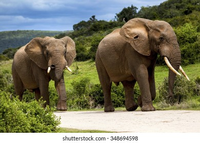 Two Elephants walking in the road in a safari park in South Africa.