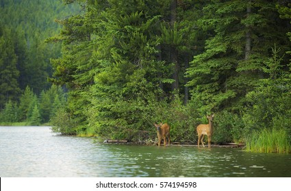 Two elk calves emerge from the forest and drink from a forest lake in Banff National Park, Alberta.
