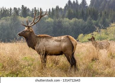 Two elks in the wilderness