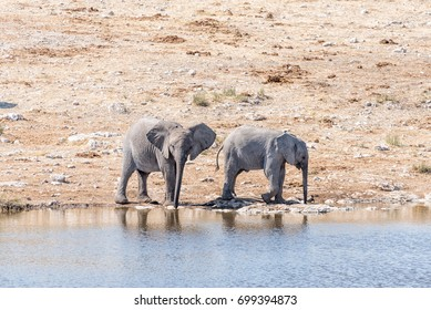 Two elphant calves, Loxodonta africana, drinking water at a waterhole in Northern Namibia