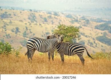 Two embracing zebra's in Akagera NP, Rwanda