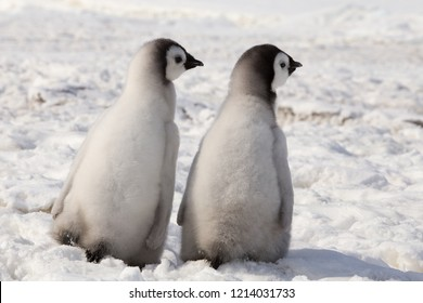 Two Emperor Penguin chicks at Snow Hill Emperor Penguin Colony, Antarctica, October 2018.