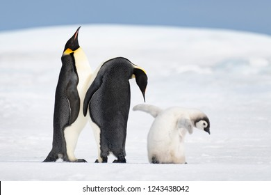 Two Emperor Penguins with chick at Snow Hill, Antarctica2018