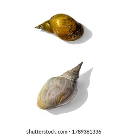 Two empty dry pond snail shells isolated on white background. Hard shells of freshwater gastropod mollusks closeup