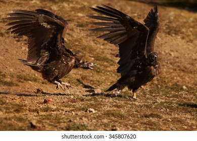 Two endangered Cinereous vulture Aegypius monachus fighting together on rocky slope lit by setting sun, autumn bushes in background