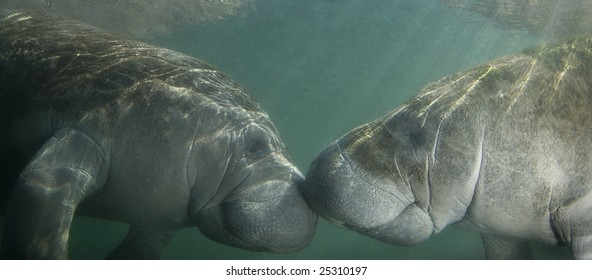 Two endangered Florida Manatee (Trichechus manatus latirostrus) nose to nose as the sun shines down on them in the springs of Crystal River, Florida
