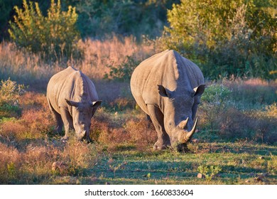 Two endangered Southern white rhinoceros, Ceratotherium simum, mother and calf, grazing on savanna, front view, vivid colors. African animal scenery. Traveling Pilanesberg national park, South Africa