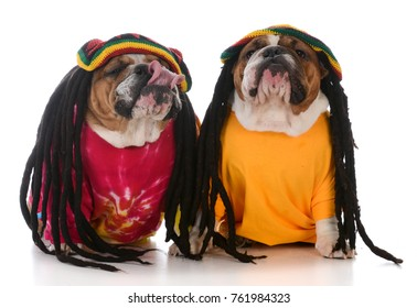 two english bulldogs with dreadlocks on white background