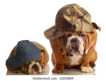 two english bulldogs dressed up with baseball caps