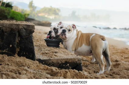 Two English Bulldogs drinking out of a water bowl at the beach