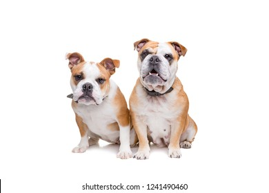 two english bulldogs sitting in front of a white background