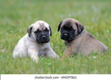 Two English Mastiff puppies, few weeks old sitting together on grass