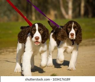 Two English Springer Spaniel puppies walking on leash