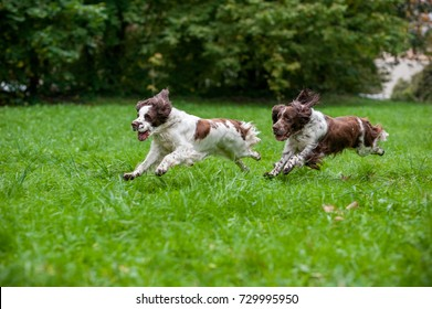 Two English Springer Spaniels Dogs Running and Playing on the grass. Playing with Tennis Ball.