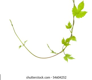 two entwined young hops plant shoots, isolated