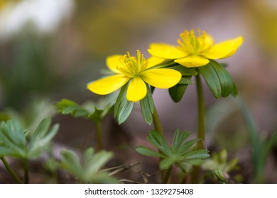 Two Eranthis hyemalis flowers outside in the garden
