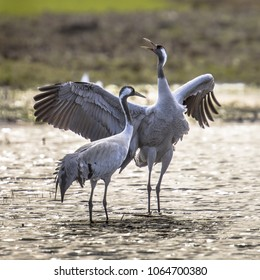 Two Eurasian Cranes (Grus grus) in display courtship dancing in shallow water