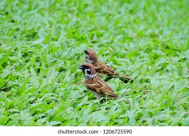 Two Eurasian tree sparrow (Passer montanus) standing on green grass.