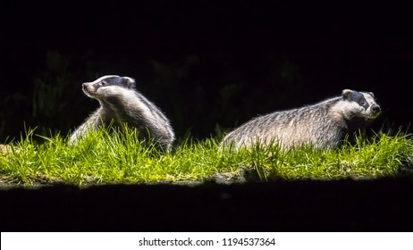 Two European badger (Meles meles) foraging in grassland in the darkness at night sniffing in the air and looking in camera