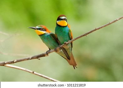 Two European bee-eater sit side by side, a sweet couple looks like a heart for Valentine's Day.