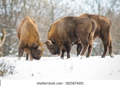 Two european bison, bison bonasus, fighting on meadow with forest behind in winter. Horned big mammal standing against each other. Wild huge animals in battle in snowy woodland.
