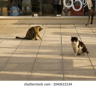 Two European (Celtic) shorthair cats hanging around on the street