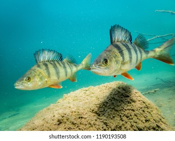 Two European perch swimming over a stone in clear-watered lake. Underwater shot.