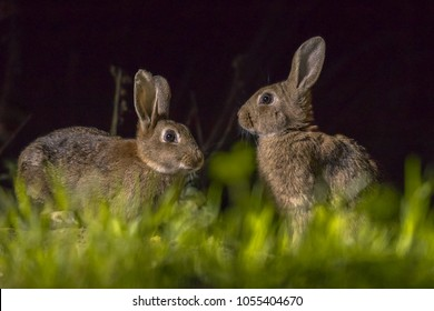 Two european rabbits (Oryctolagus cuniculus) foraging in the dark at night