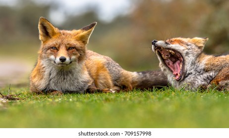 Two European red fox (Vulpes vulpes) family members lying in grass and moaning. This animal is present across the entire Northern Hemisphere from the Arctic Circle to Africa, America and Eurasia.