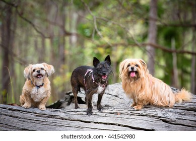 Two Ewoks and a Gremlin.  Funny trio of dogs