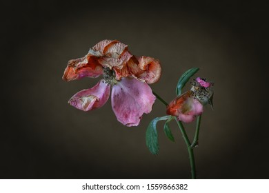 two faded roses in close-up