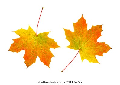 Two fall foliage maple leaves on a white background.